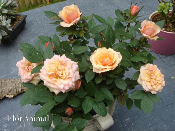 Quelques unes de mes roses ... Dsc00410