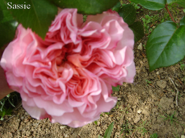 Quelques unes de mes roses ... Dsc00412