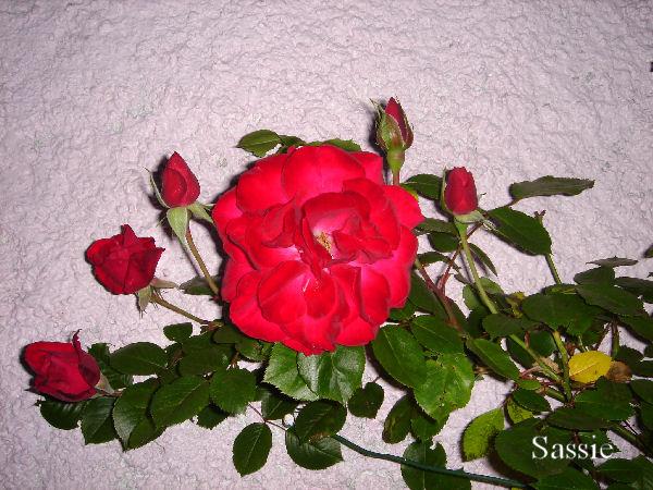 Quelques unes de mes roses ... Dsc00414