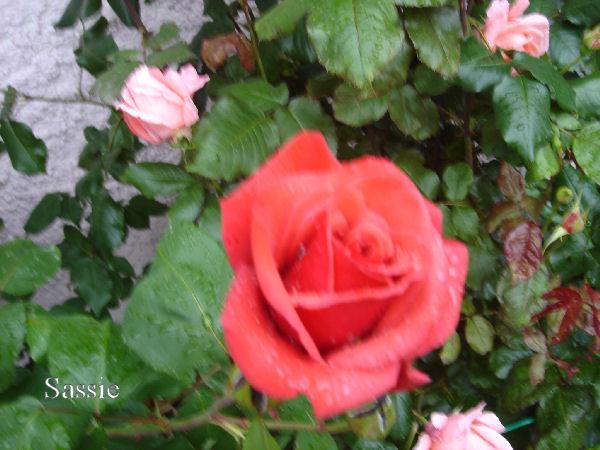 Quelques unes de mes roses ... Dsc00415