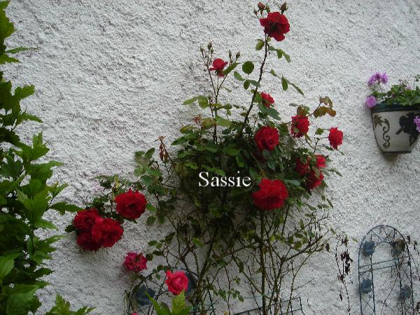 Quelques unes de mes roses ... Dsc00417