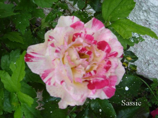 Quelques unes de mes roses ... Dsc00513