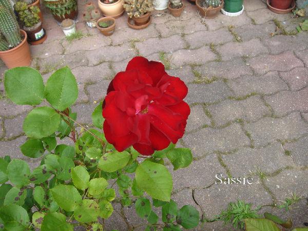 Quelques unes de mes roses ... Dsc00514