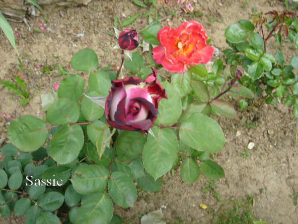 Quelques unes de mes roses ... Dsc00517