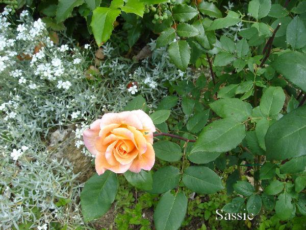 Quelques unes de mes roses ... Dsc00518