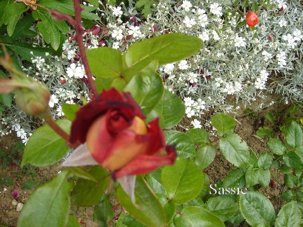 Quelques unes de mes roses ... Dsc00521