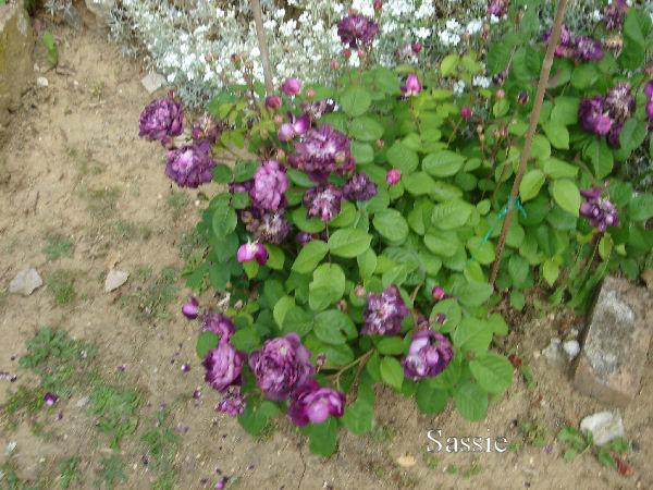 Quelques unes de mes roses ... Dsc00522