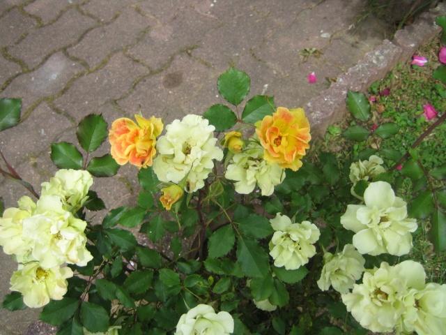 Quelques unes de mes roses ... Img_1810