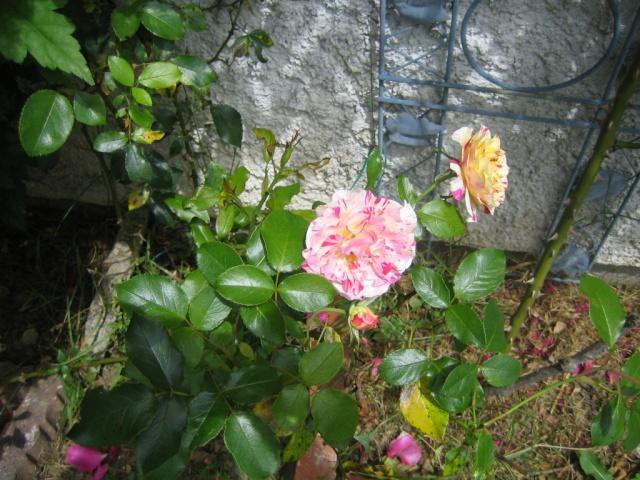 Quelques unes de mes roses ... Img_1811