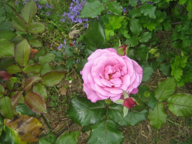 Quelques unes de mes roses ... Img_1813