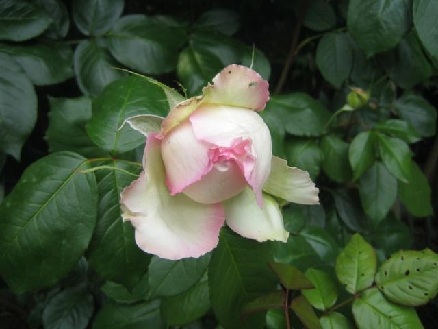 Quelques unes de mes roses ... Img_1815