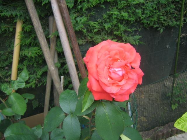 Quelques unes de mes roses ... Img_1816