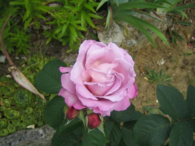 Quelques unes de mes roses ... Img_1817
