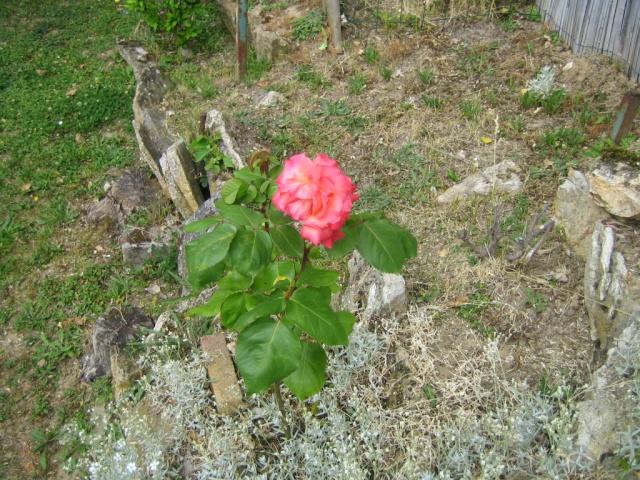 Quelques unes de mes roses ... Img_1818
