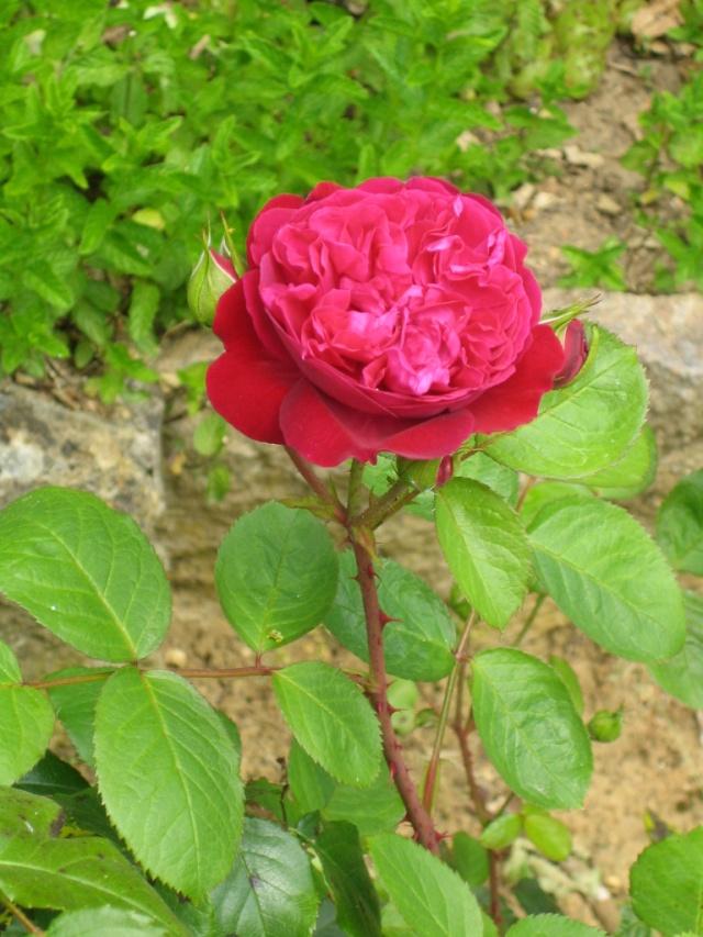 Quelques unes de mes roses ... Img_1819