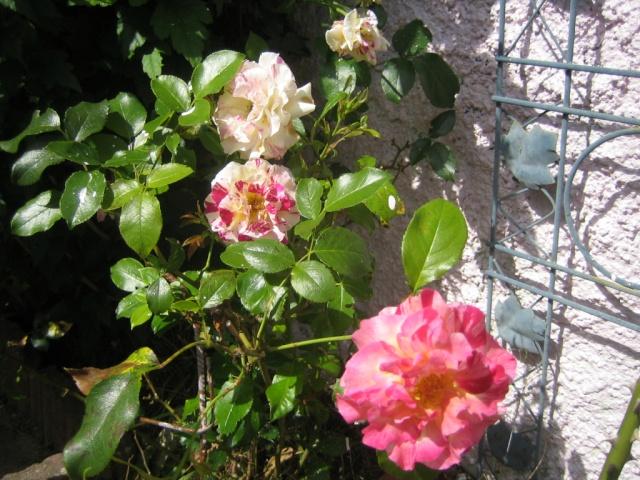 Quelques unes de mes roses ... Img_2111