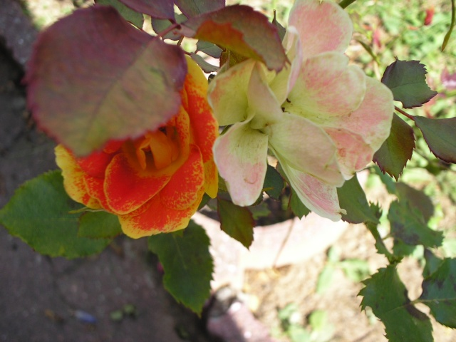 Quelques unes de mes roses ... P1010010