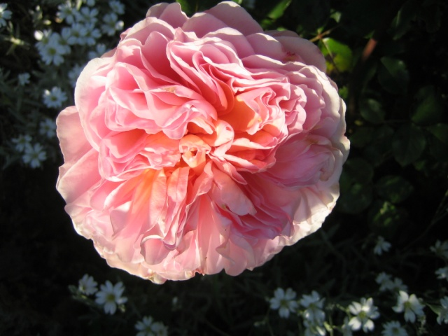 'Sweet Juliet' Rose10