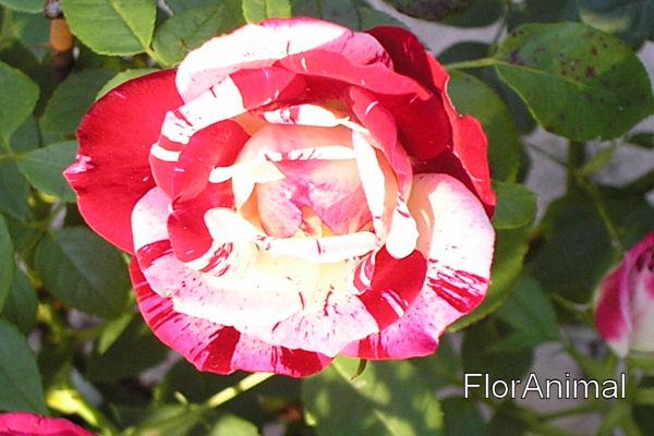 Quelques unes de mes roses ... Rose110
