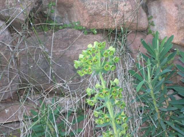 Euphorbia characias ssp. wulfenii Dscn6112