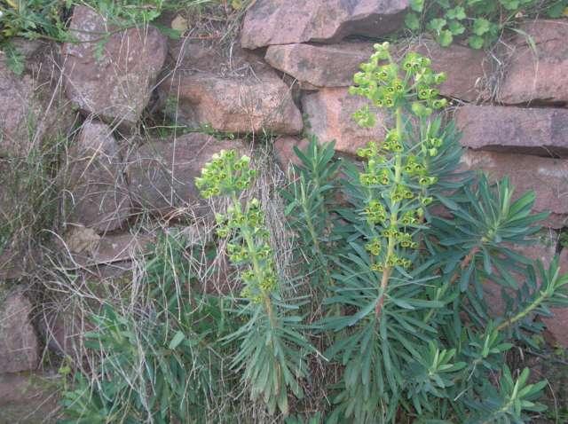 Euphorbia characias ssp. wulfenii Dscn6116