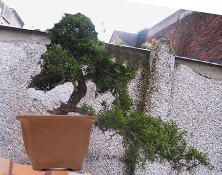 juniperus chinensis a former Juni10
