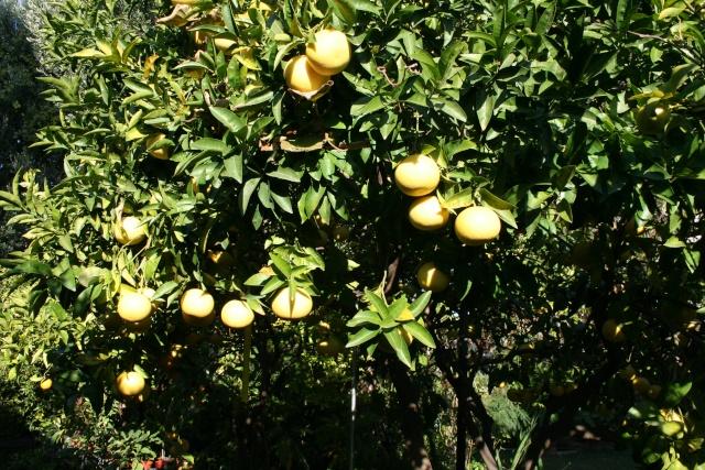 Début des Agrumes Citrus10