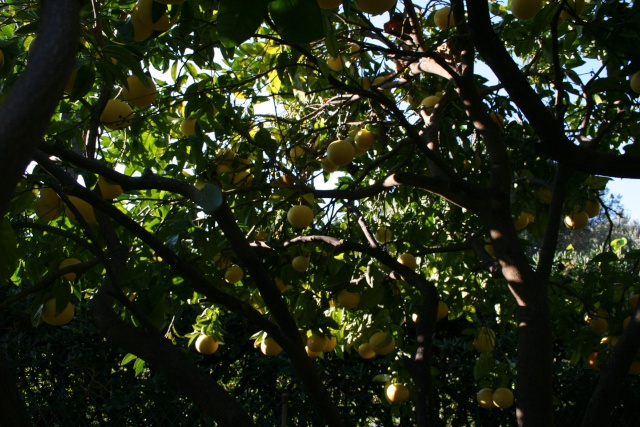 Début des Agrumes Citrus11