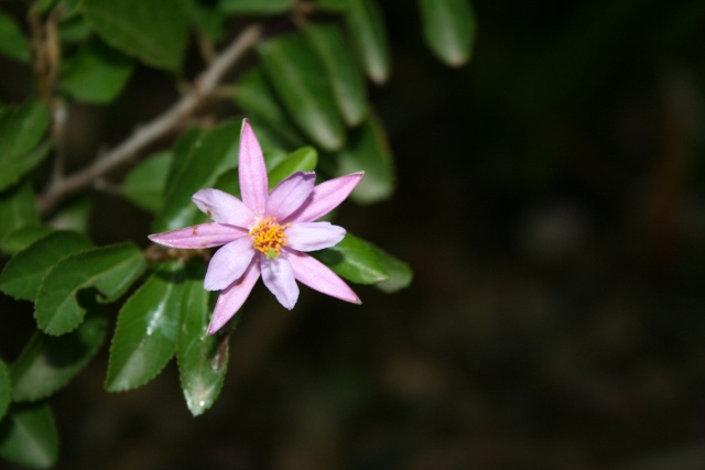 Quelques fleurs après la pluie Grewia10