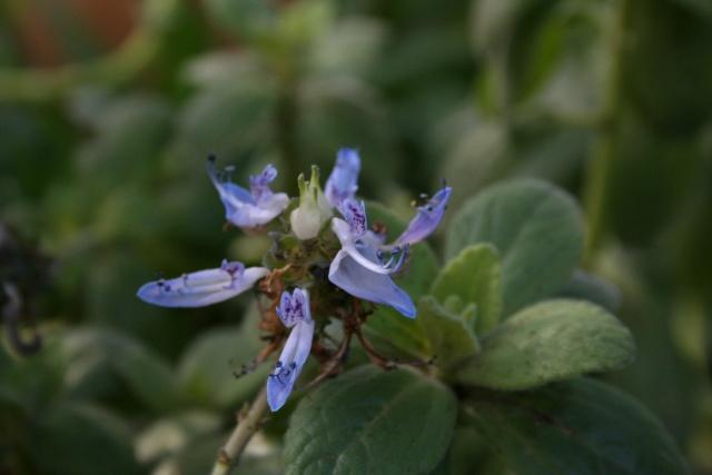 Quelques fleurs après la pluie Plectr10