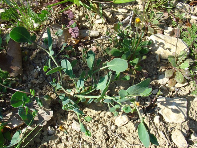 Plante sauvage très appréciée par mes tortues Dsc02223
