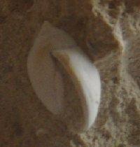 [résolu]Hemiauricula (s.str.) conovuliformis (Deshayes, 1862) Image410