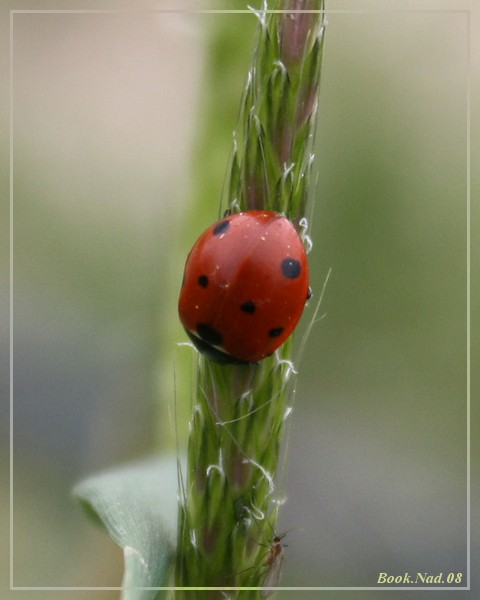 Coccinelle. Img_8511