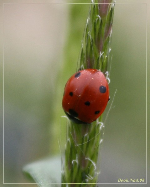 Coccinelle. Img_8513