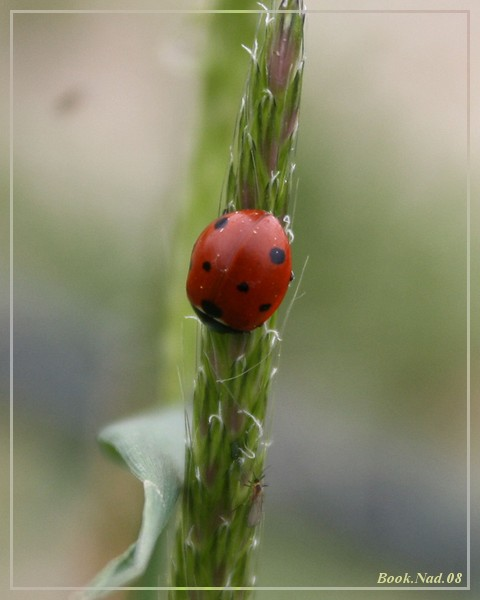 Coccinelle. Img_8515
