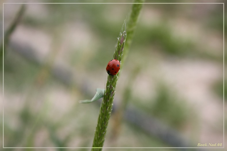 Coccinelle. Img_8516