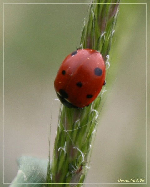 Coccinelle. Img_8517
