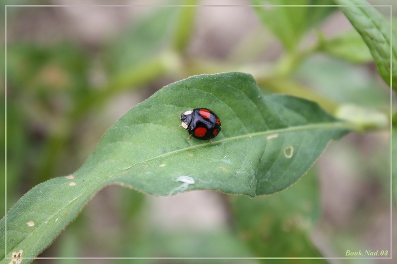 Coccinelle. Img_8518