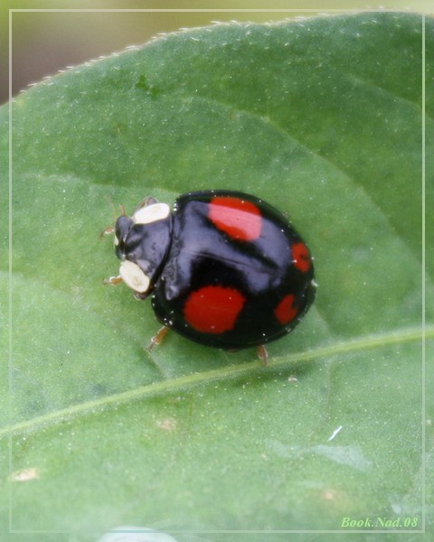 Coccinelle. Img_8519