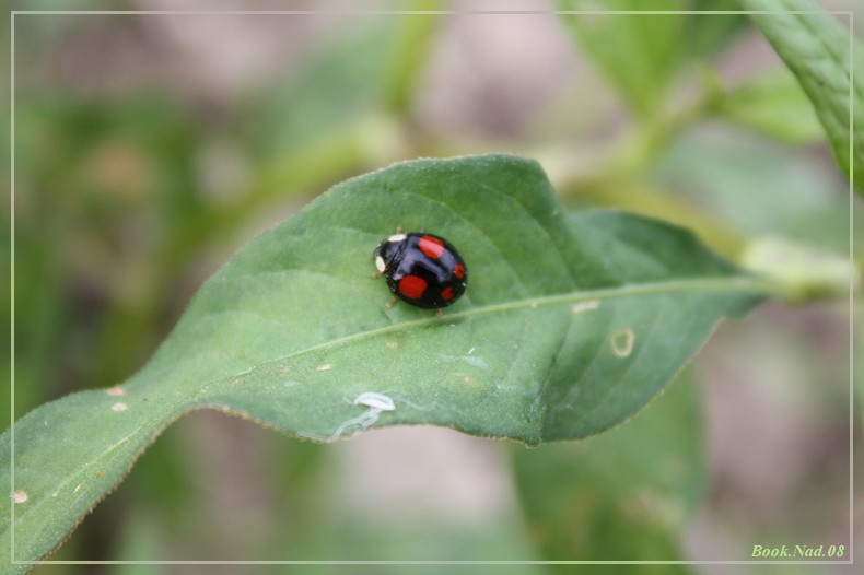 Coccinelle. Img_8520