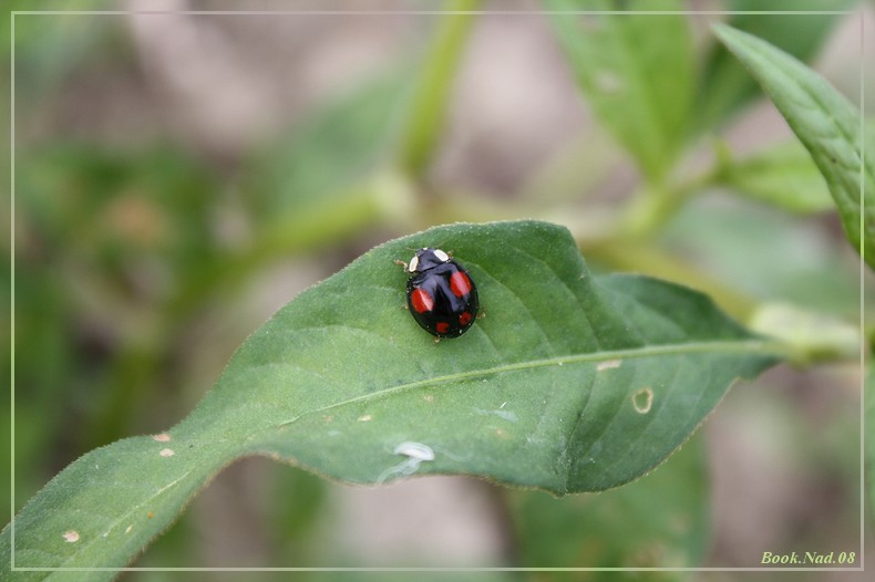 Coccinelle. Img_8521