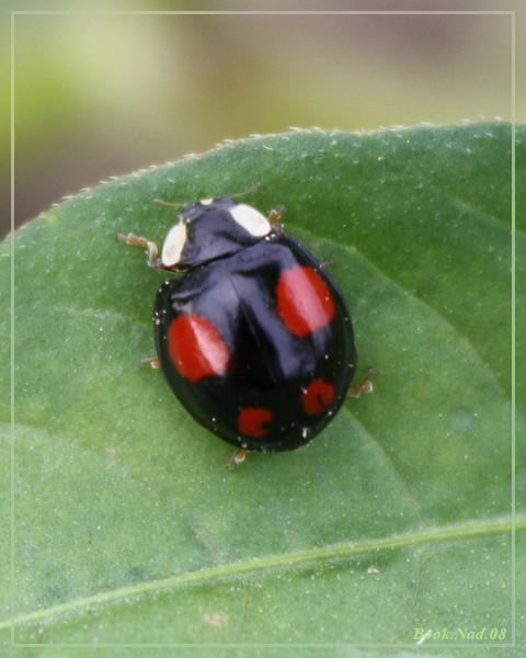 Coccinelle. Img_8522