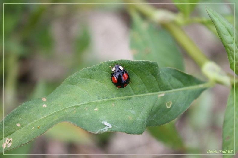 Coccinelle. Img_8523