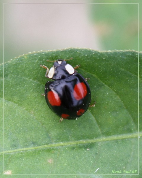 Coccinelle. Img_8524