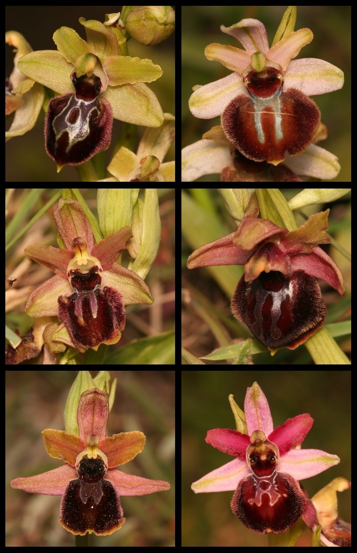 variation sur Ophrys occidentalis Occi10