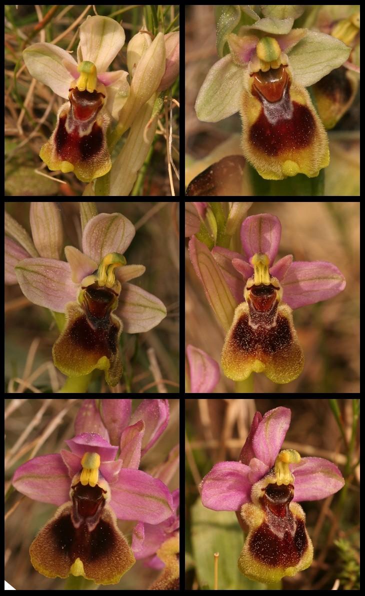 Ophrys tenthredinifera ( Ophrys guêpe ) Tent710