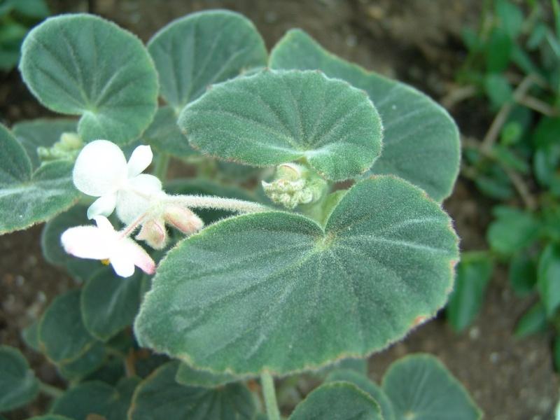 Begonia tomentosa? Begoni15