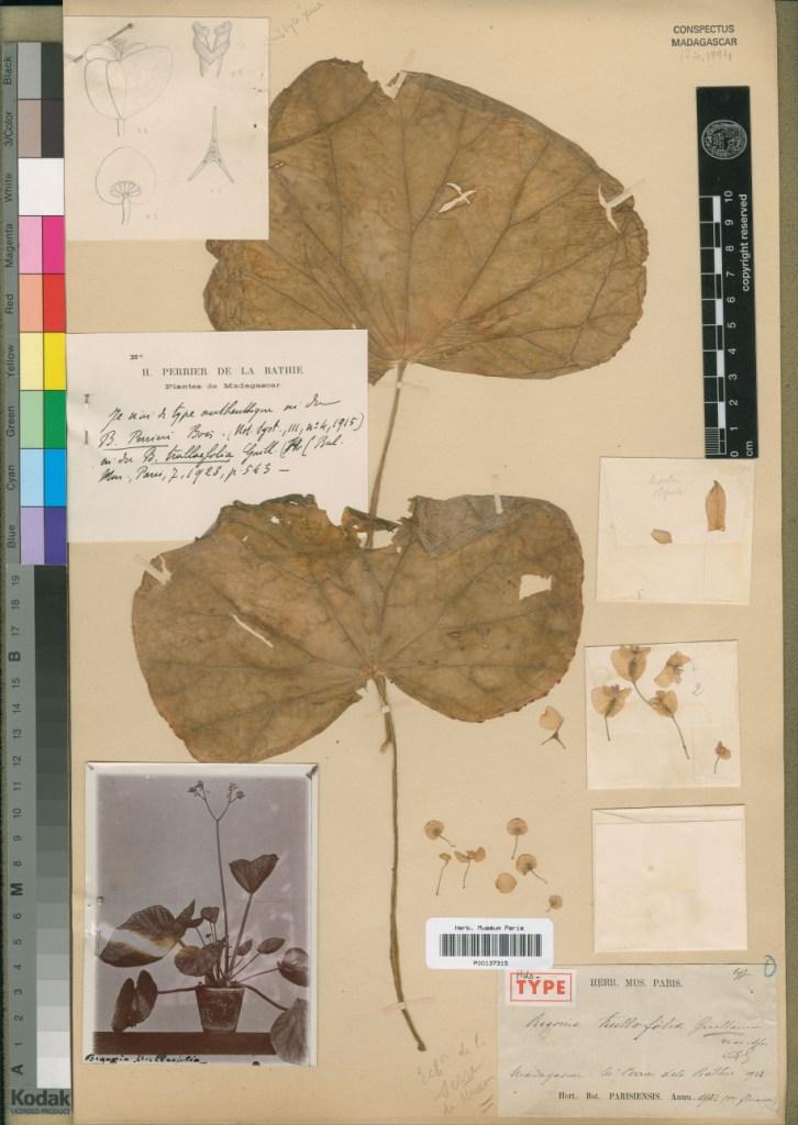 Begonia trullifolia Begoni20