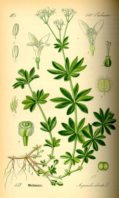 Aspérule Odorante, Asperula odorata Aspe10