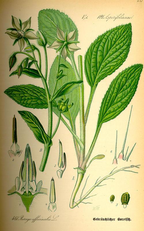 Bourrache, Borago officinalis Borago10